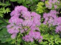 Thalictrum aquil. 'Thundercloud'